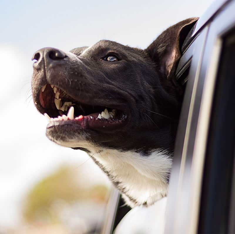Jacksonville Trained Dog Head Out of Car Window