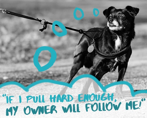 """""""If I pull hard enough, my owner will follow me!"""""""